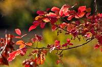 Fall Colors - Poison Oak